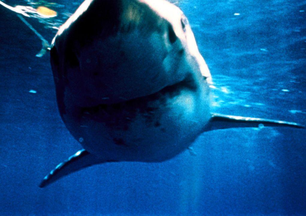 Seit vielen Jahren attackieren Haie jeden, der den Schatz der versunkenen spanischen Fregatte Santa Cruz heben möchte ... - Bildquelle: Nu Image