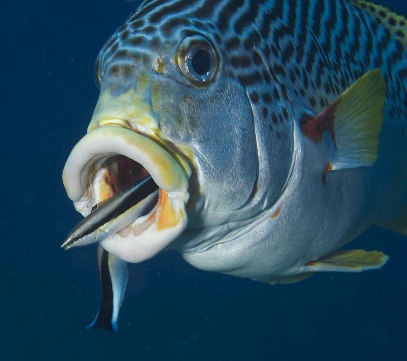 Grausamkeit und Schönheit - unter Wasser liegen sie nicht mal einen Flossenschlag auseinander ... - Bildquelle: Pascal Kobeh Universum Film