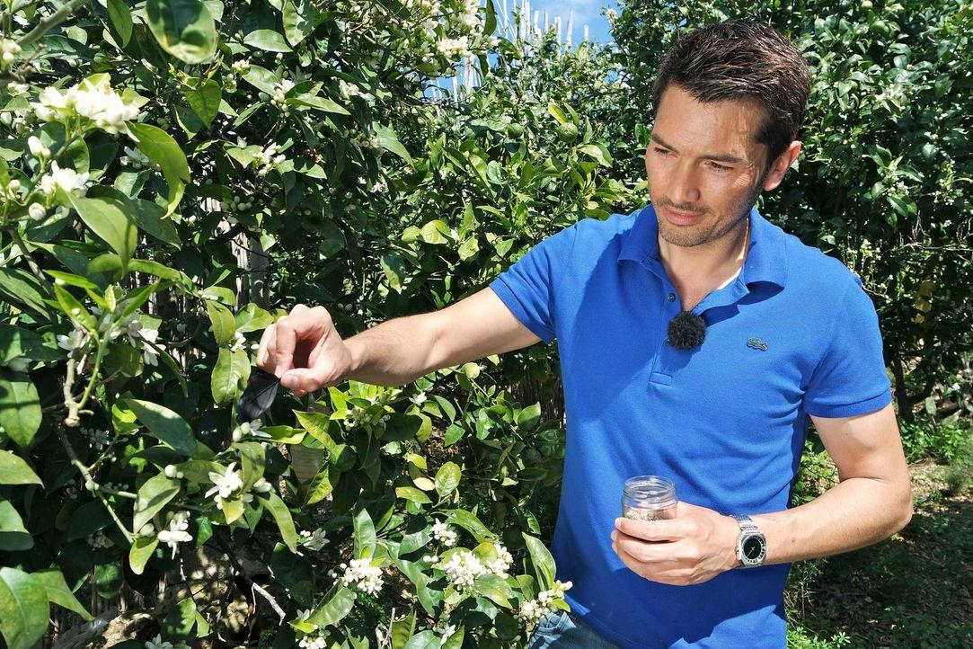 In China versucht man eine Lösung zu finden, für die immer weniger vorhandenen Bienen: Stefan Gödde schaut sich an, wie die Handbestäubung von Orang... - Bildquelle: ProSieben