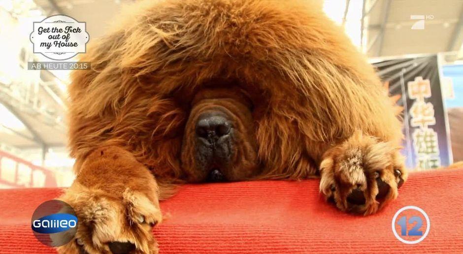 Galileo Video Platz 12 Die Teuerste Hunderasse Der Welt