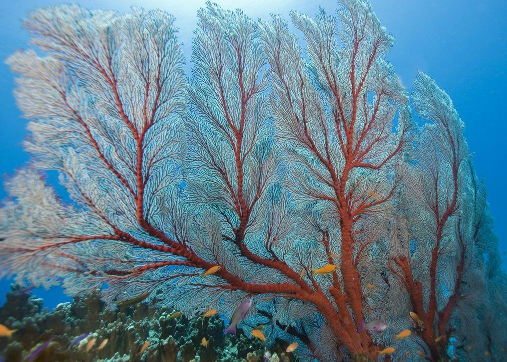 Hier unten im Ozean gibt es alles: alle Formen, alle Farben, eine unübersehbare  Vielfalt. - Bildquelle: Pascal Kobeh Universum Film