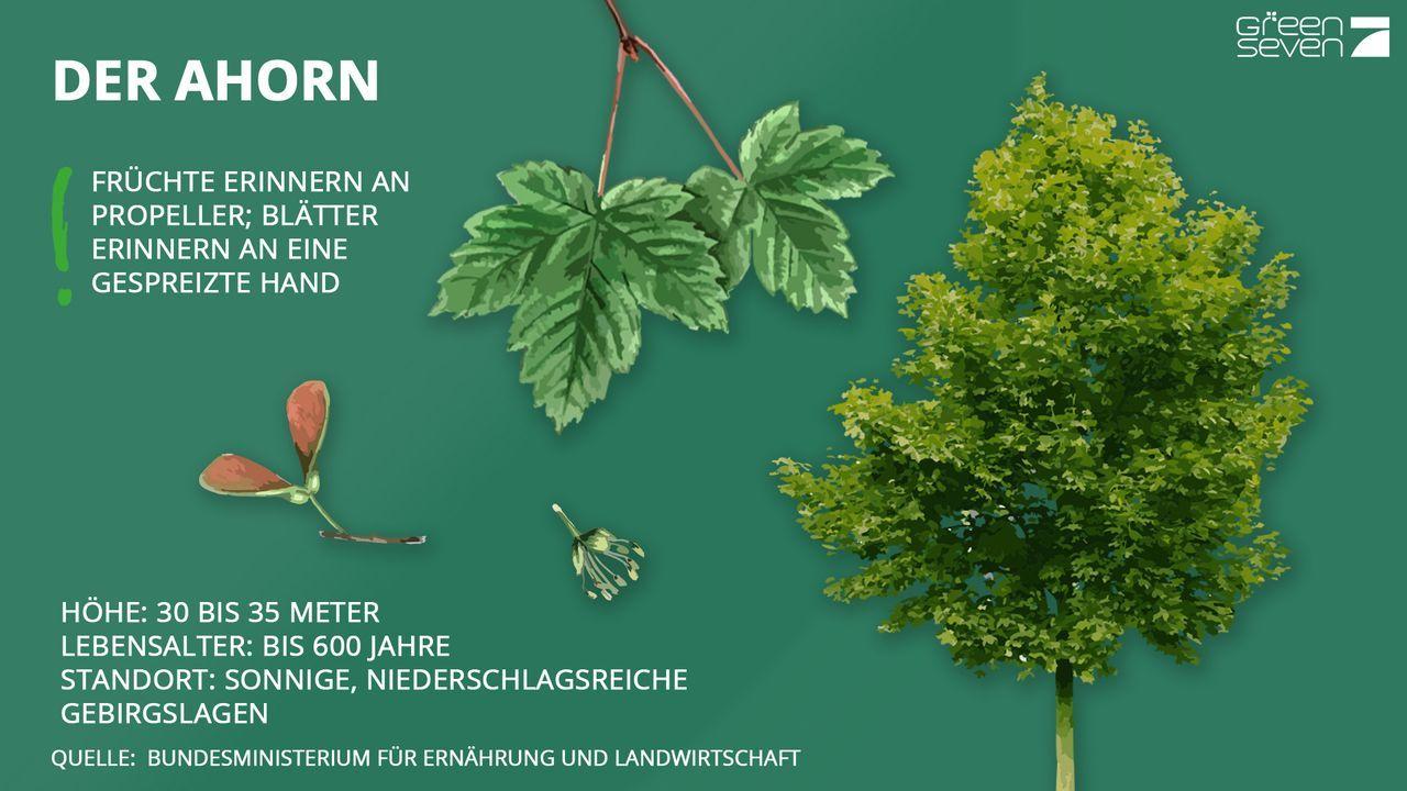 Ahorn - Bildquelle: ProSieben