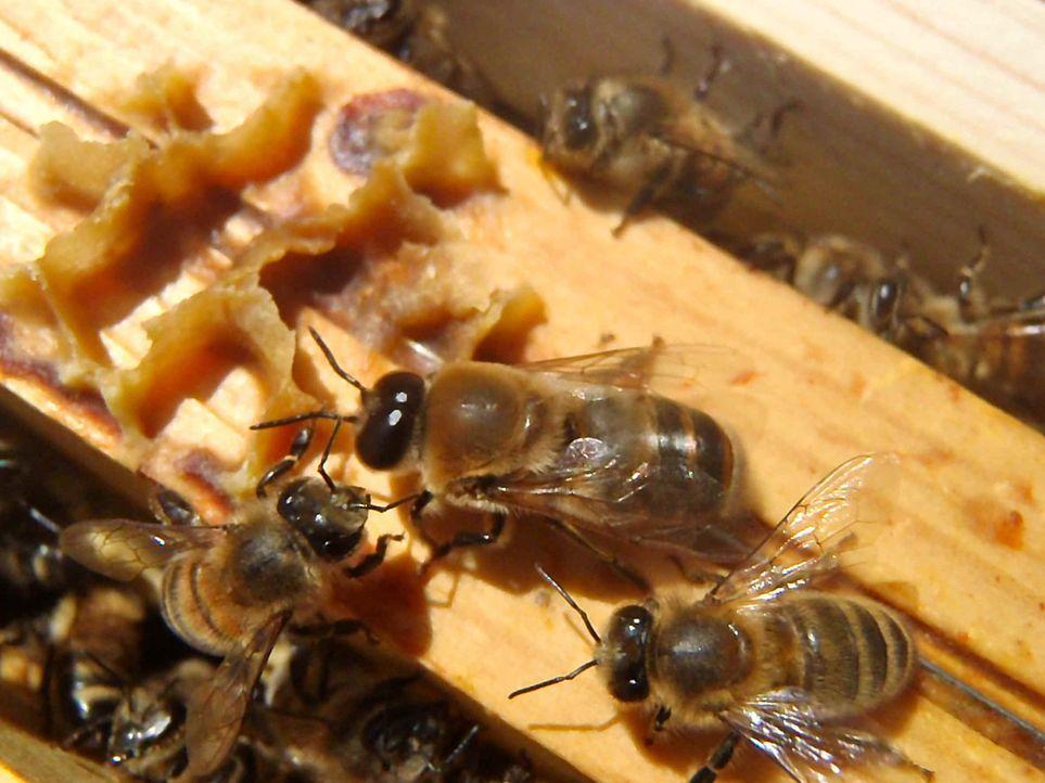 """Der """"Green Seven Report"""" begleitet Honigbienen rund um die Welt und erkennt, dass diese beachtliche Strecken zurücklegen können ... - Bildquelle: ProSieben"""