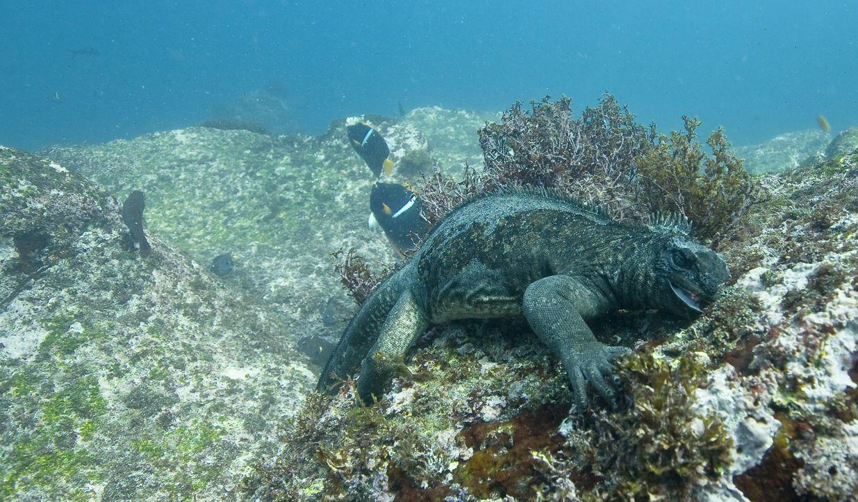 Meerechsen: Die urzeitlichen Kreaturen tauchen bis zu einer halben Stunde im flachen Wasser bis zu einer Tiefe von fünfzehn Metern, wo die Algen abw... - Bildquelle: Pascal Kobeh Universum Film