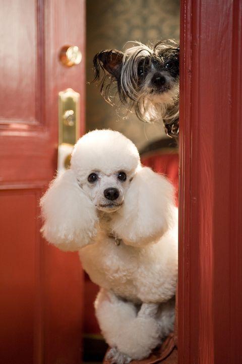 Als ihr wunderbares Leben im Hundehotel auf dem Spiel steht, nehmen die Vierbeiner mit Hilfe ihrer menschlichen Begleiter den Kampf auf ... - Bildquelle: MMVIII MavroCine Pictures GmbH & Co. KG All Rights Reserved.