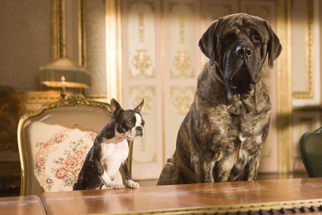 Schon bald wird Mastiff Lenny (r.) und der Boston-Terrier-Dame Georgia (l.) klar, dass sie das große Los gezogen haben. Denn aus ihrem altersschwach... - Bildquelle: MMVIII MavroCine Pictures GmbH & Co. KG All Rights Reserved.