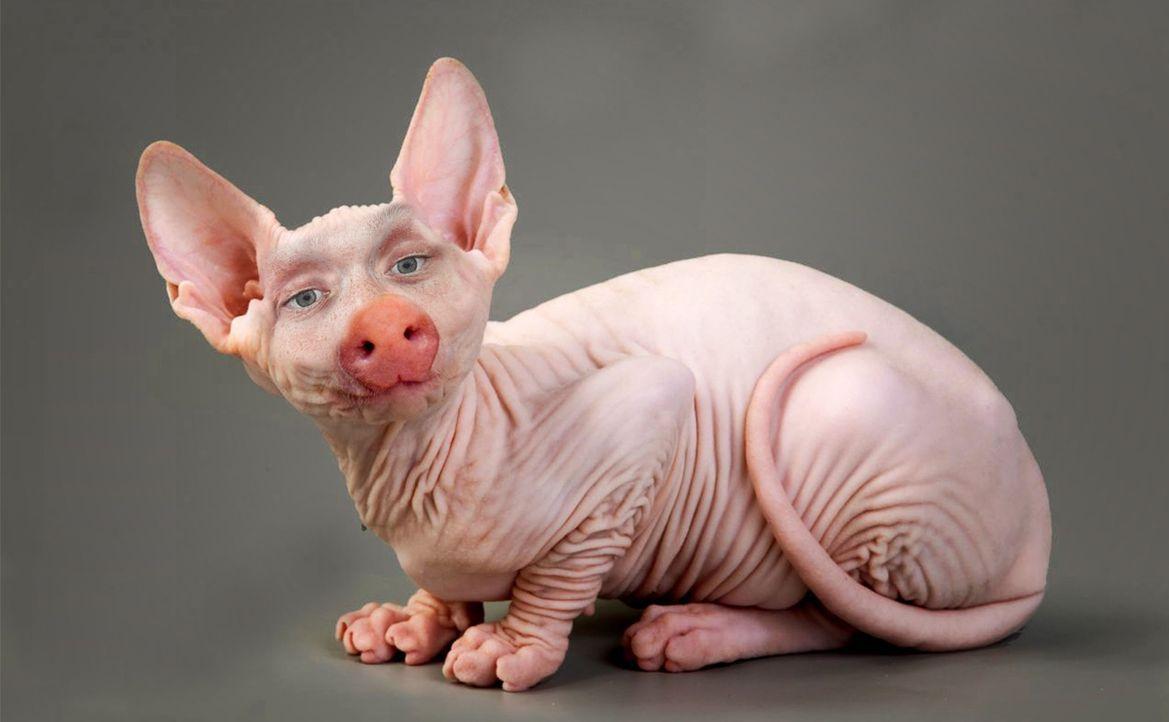 Schweinekatze - Bildquelle: ProSieben