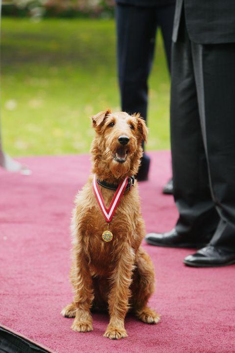 Rexx ist der coolste Hund der Welt und hat aufgrund seiner außergewöhnlichen Talente in Hollywood Karriere gemacht. Doch bei den Dreharbeiten zu sei... - Bildquelle: New Regency Productions, Inc.