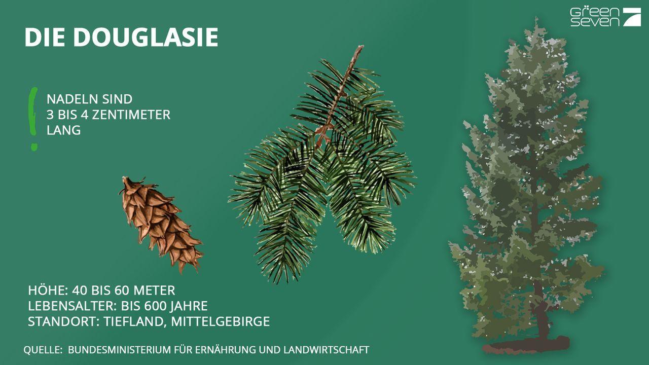 Douglasie - Bildquelle: ProSieben