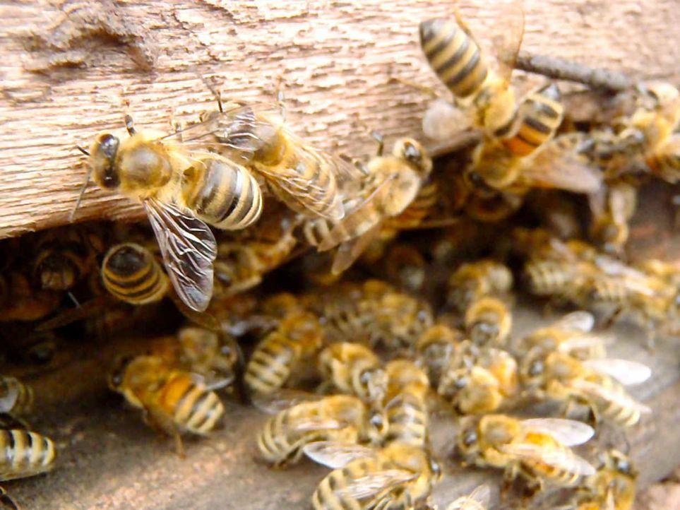 Bienen sind heute unzähligen Bedrohungen ausgesetzt und mancherorts bereits von der Bildfläche verschwunden. Dabei sind sie für die Bestäubung viele... - Bildquelle: ProSieben