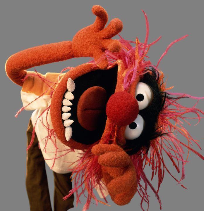 """(1. Staffel) - Ist der Schlagzeuger der """"The Muppets-Band"""" und spricht selten mehr als zwei Wörter auf einmal: das Tier ... - Bildquelle: ABC Studios"""