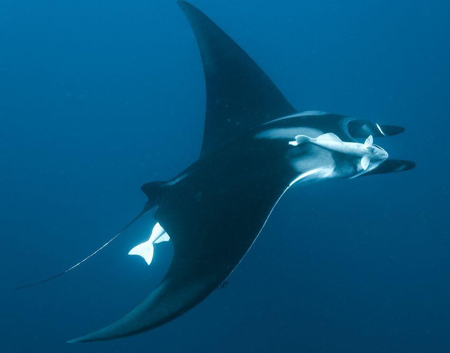 Elegant schwebt der Rochen durchs endlose Blau des Ozeans ... - Bildquelle: Pascal Kobeh Universum Film
