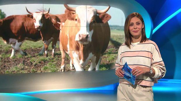 Galileo - Galileo - Samstag: Die Glücklichsten Rinder Der Welt