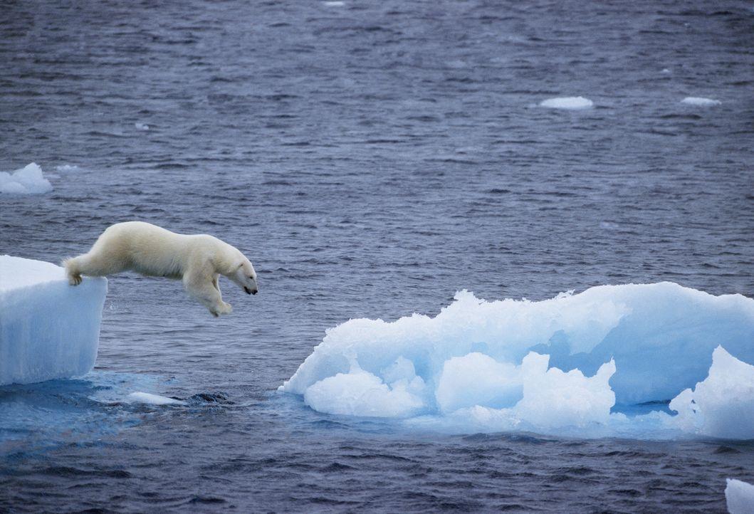 Von Eisscholle zu Eisscholle auf der verzweifelten Suche nach Nahrung: ein Eisbär, dem die globale Erderwärmung das Jagdrevier nimmt ... - Bildquelle: Staffan Widstrand/naturepl.com