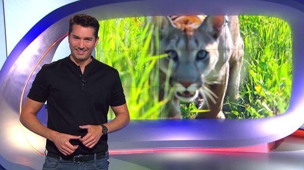 Galileo - Galileo - Sonntag: Puma Als Haustier