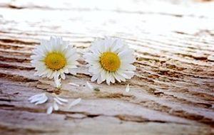 zwei Gänseblümchen