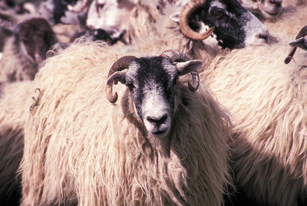 Mit diesen Schafen ist nicht zu spaßen ... - Bildquelle: Constantin Film