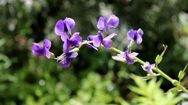 Wilder Indigo oder auch Baptisia stellt eine weitere Alternative zu Retinol dar
