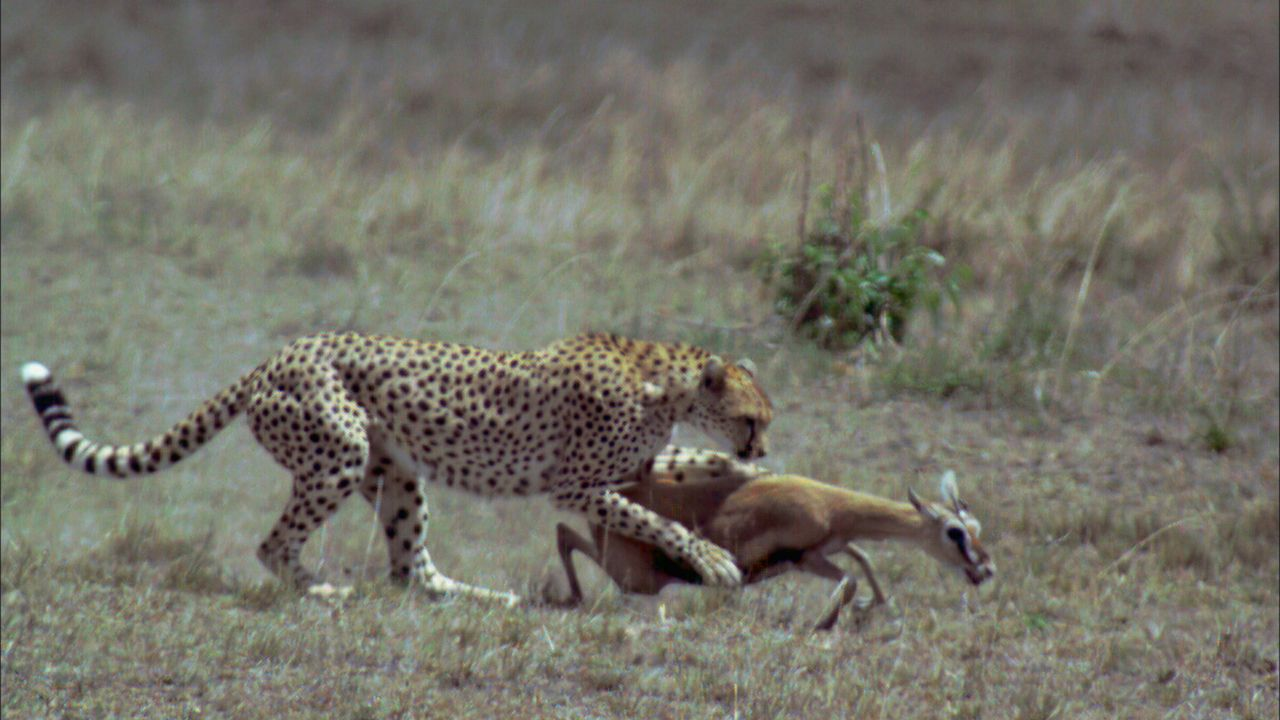 Fressen und gefressen werden: Ein Gepard hat eine Gazelle vom Rudel abgesondert ... - Bildquelle: Earth   BBC Worldwide Ltd 2007
