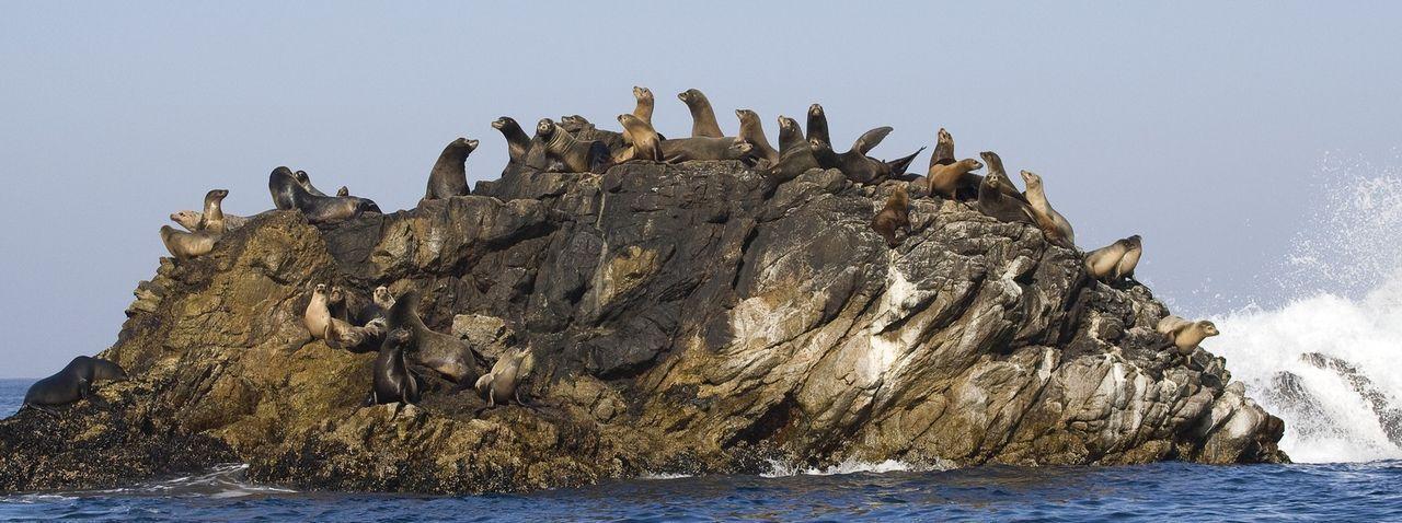 Robben tummeln sich auf einem Felsen, wo sie ein Sonnenbad nehmen ... - Bildquelle: Richard Herrmann Universum Film