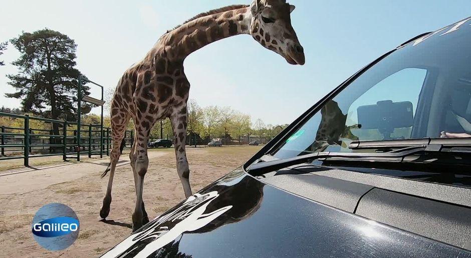 Galileo Video Der Drive Through Safaripark Prosieben