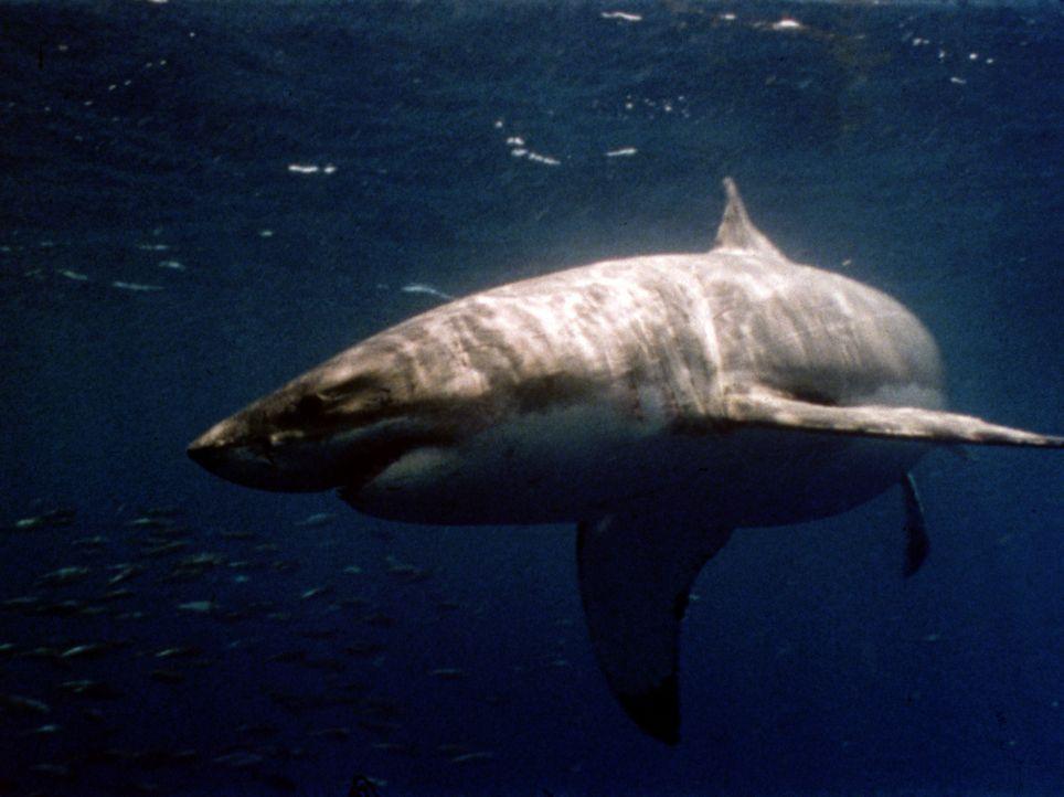 Nach dem katastrophalen Zusammenstoß zweier außerirdischer Raumschiffe greifen verstrahlte Haifische eine Unterwasser-Forschungsstation an ... - Bildquelle: 2004 Sharky Productions A.V.V.  All Rights Reserved.