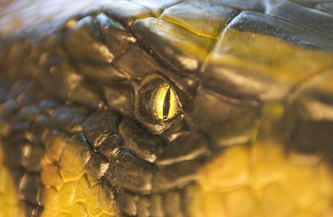 Die Anakondas sind dank der besonderen Wirkstoffe der Orchidee noch schneller, größer und cleverer als je zuvor ... - Bildquelle: Sony Pictures Television International. All Rights Reserved.
