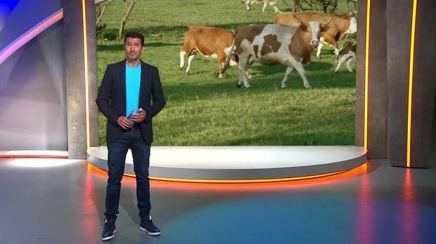 Galileo - Galileo - Donnerstag: Die Glücklichsten Rinder Der Welt