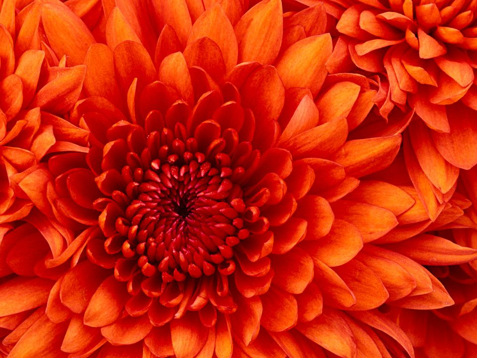 Chrysanthemum - Bildquelle: © Corbis.  All Rights Reserved.
