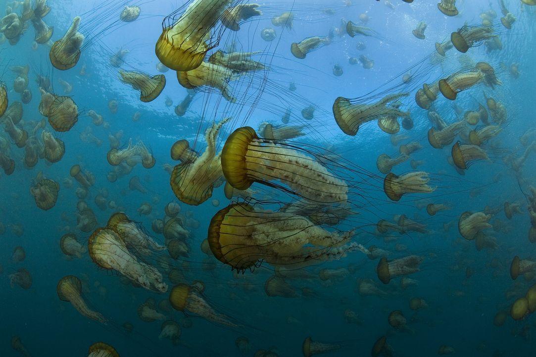 """Die Dokumentation """"Unsere Ozeane"""" zeigt Bilder, die so noch nie zu sehen waren und deren atemberaubende Schönheit man nicht so schnell vergessen wir... - Bildquelle: Richard Herrmann Universum Film"""