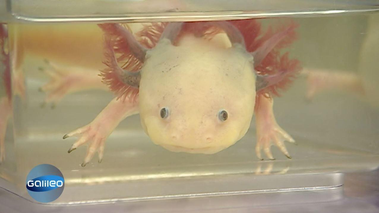 Superheld 3 - Die Albino-Variante halten sich manche zuhause im Aquarium